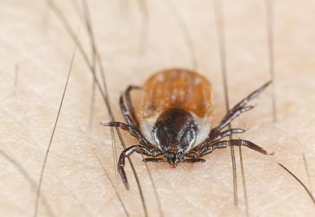 Blacklegged ticks, also called deer ticks, are getting plenty of attention these days, since they transmit the Borrelia burgdorferi bacterium that causes the much-dreaded Lyme disease.