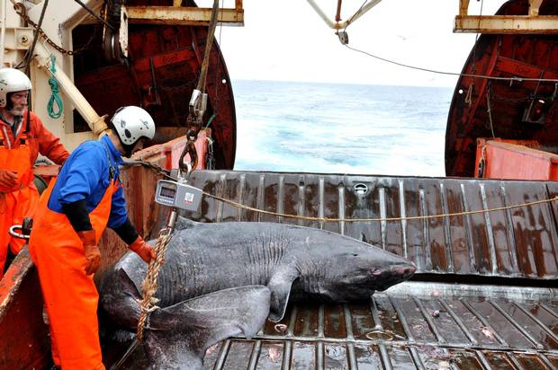 This undated photo made available by Julius Nielsen on Aug. 11, 2016 shows a Greenland shark caught aboard the research vessel Pâmiut in southwest Greenland.