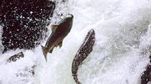 Chinook salmon jump upstream. AG2J0C Chinook salmon jumping falls Kispiox river British Columbia (Keith Douglas/Alamy)