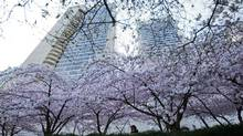 A young woman photographs cherry blossoms in full bloom in downtown Vancouver on March 31, 2014. (DARRYL DYCK/THE CANADIAN PRESS)