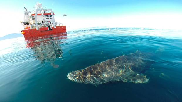 A Greenland shark swims near the surface after its release from the research vessel Sanna in northern Greenland, in this undated handout picture from Julius Nielsen. Julius Nielsen/Handout via Reuters