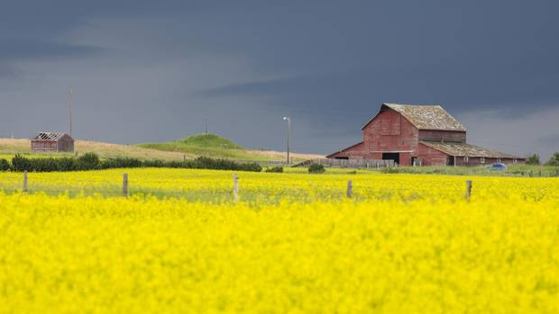 A field of ripe canola sits ready for harvest near Lethbridge, AB.