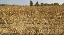 The rising price of corn, soybean and wheat, which was triggered by last summer's drought in the U.S. Midwest, helped BMO Agriculture Commodities exchange-traded fund gain nearly 6 per cent. (Getty Images/iStockphoto)