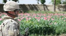 Canadian Sgt. Charles Cote walks past a field of poppies deep in southern Afghanistan's Panjwaii district on Sunday, April 17, 2011. (Colin Perkel)