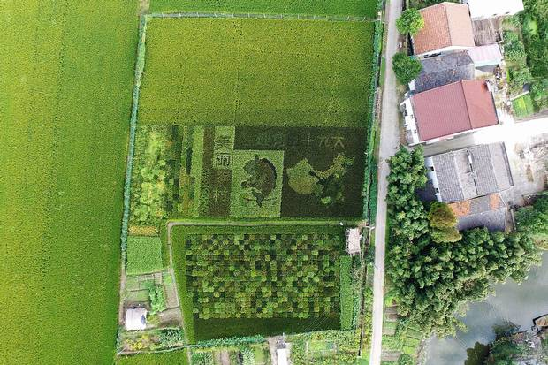 Shanghai: A rice paddy shows a map of China and the words 'welcoming the 19th Party Congress' in patterns of differently coloured kinds of rice.