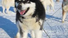 Pitarak, a Canadian sled dog.