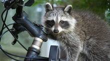 City staff, who are putting together a wildlife report, say there isn't evidence that the raccoon population is growing dramatically. (Paisley Rae)