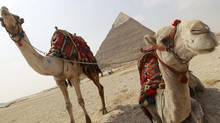 Camels rest near the pyramids in Giza outside of Cairo, March 1, 2011. A cafe in Dubai offers camel milk lattes. (PETER ANDREWS/REUTERS/PETER ANDREWS/REUTERS)