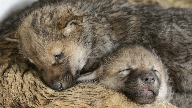 Two one-month old baby wolves rest on their mother, Mara, in the zoo de La Garenne, in Le Vaud, Switzerland, Friday, May 3, 2013. (Laurent Gillieron/AP)