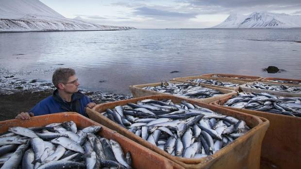 Workers clear up dead herring from the shores of Kolgrafafjordur in western Iceland on Tuesday. (Brynjar Gauti/AP)