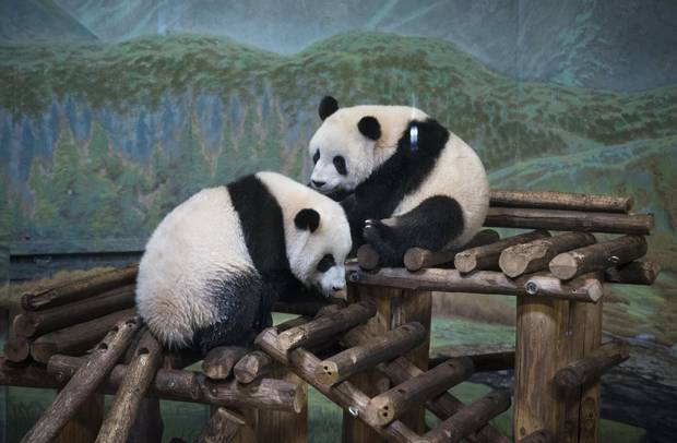Jia Panpan, left, and his sister, Jia Yueyue, giant panda cubs born at the Toronto Zoo, who will turn two years old later this month, are pictured in the panda pavilion on Thursday. In March, 2018, the cubs, their mother, Er Shun, and another adult panda, Da Mao, will be heading to the Calgary Zoo for a five-year stay before heading back to China.