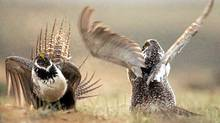 The greater sage grouse is known for the elaborate mating dances that males perform every spring. But conservationists warn the species is on its way to extinction in Alberta because of oil and gas exploration. (Jerret Raffety/Associated Press)
