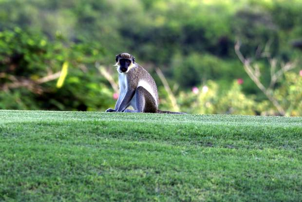 Nevis is one of several Caribbean countries where vervet monkeys, initially brought as pets from Africa, escaped and naturalized in the wild.