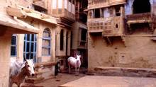 Curious cows in Jaisalmer, Rajasthan, India.