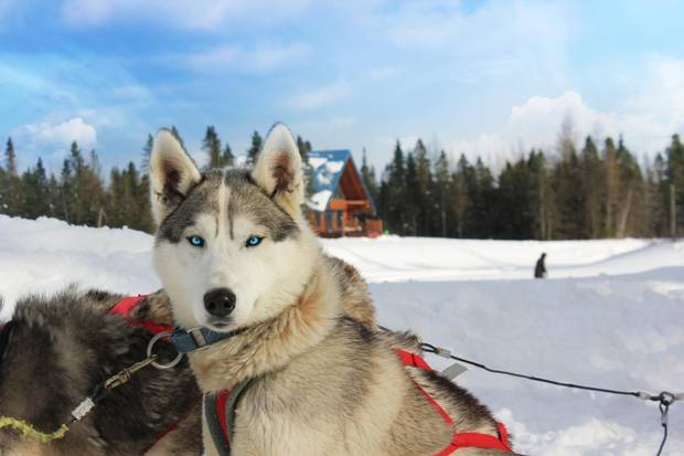 On-site dogsledding launched at Au Chalet En Bois Rond this year, with a team of 28 huskies available for 75-minute excursions.