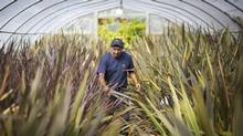 Jose Guadalupe works at Cedar Rim Nursery in Langley on Sept. 17, 2012. (John Lehmann/Globe and Mail)