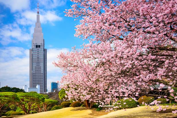 Shinjuku Gyoen Park is a popular destination for tourists and locals alike to see cherry blossoms every spring.