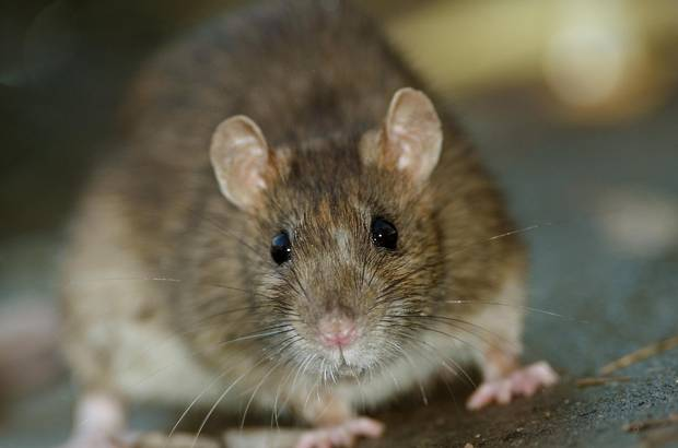 Rats can carry a wide variety of zoonotic diseases, or diseases that can be transmitted from animals to humans, including viruses, bacteria and parasites.