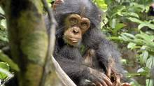"A scene from the new Disney Nature film ""Chimpanzee"" (CP)"