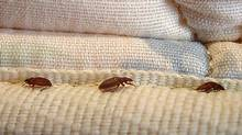This undated file photo shows bed bugs in New York. (AP Photo/Orkin LLC)