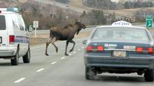 You can find moose just about anywhere in Newfoundland. (GARY HEBBARD/CP)