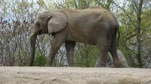 Thika, one of the Toronto Zoo's three remaining elephants, walks around it's enclosure. (PAT HEWITT/THE CANADIAN PRESS/PAT HEWITT/THE CANADIAN PRESS)
