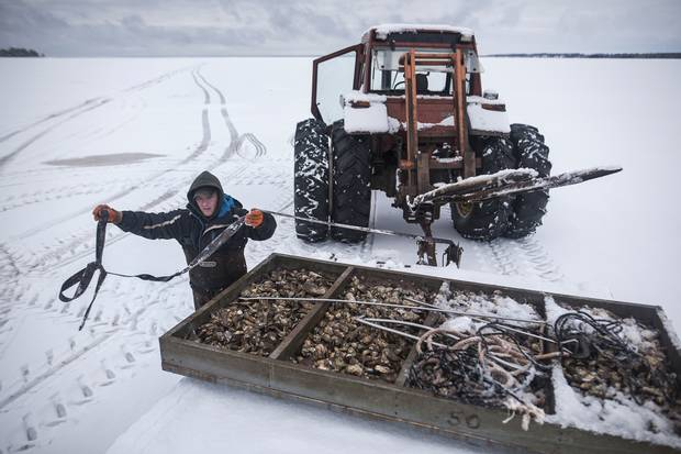 Jason Boyles secures 1,000 pounds of oysters to a flatbed in PEI's Salutation Cove on Dec. 23, 2016, before transporting the tray by tractor to a processing plant.