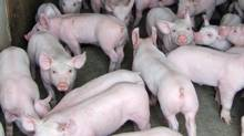 Pigs are pictured at a barn at an Ontario farm. Officials in Ontario have confirmed multiple cases of a highly contagious pig virus that has ravaged herds across the United States. (HANDOUT/THE CANADIAN PRESS)