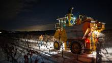 Special trucks are predominant features in harvests now, but testing the grapes is still a hands-on job. (Johan Hallberg-Campbell)