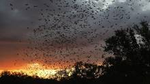 Twenty million bats emerge from Bracken Cave in Bracken, Texas. (Eric Gay/Eric Gay/AP)