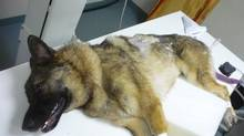 Captain the German shepherd is shown in a handout photo being treated at an animal hospital. He did not survive. (The Canadian Press)