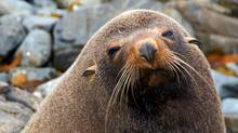 See the seals at the Red Rock Reserve near Wellington, NZ. (Thinkstock)