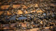 In the United States, beekeepers lost 31 per cent of their colonies this winter, compared with a loss of 21 per cent the previous winter. In Canada, the Canadian Honey Council reports an annual loss of 35 per cent of honeybee colonies in the last three years. (BEN NELMS FOR THE GLOBE AND MAIL)