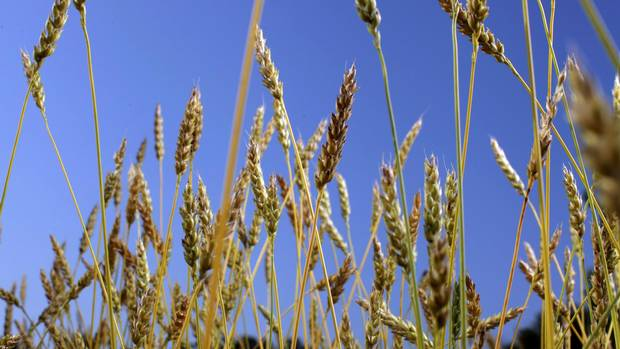 A field of Red Fife wheat in Athens, Ont.