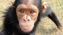 An inhabitant of a chimp sanctuary in Congo. (Andrew Westoll)