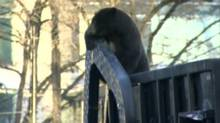 A small black bear was seen scavenging in Vancouver's downtown core on Monday.