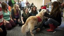 At Dalhousie University therapy dogs are brought to the 'puppy room' so that students can visit and pet them to reduce stress before exams. Dec. 4th. 2012 - STUDENTS BREAK FROM STUDIES TO PET DOGS - Dalhousie University students pet Lulu, a seven year old Golden Retreiver in the Dalhousie University Student Union Building. Dalhousie Student Michael Kean came up with the idea of bringing the dogs to campus so students can visit the dogs and pet them to help releave stress before exams. (Sándor Fizli photo for the Globe And Mail) (Sándor Fizli)