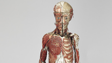 "Lot 72 - French Polychromed Composite Anatomical Model by Louis Thomas Jerome Auzoux (1797-1880), 19th century the 3/4 size intricately detailed ecorche study figure with removable layers showing vascular system, musculature, bone structure, and internal organs all meticulously labelled and numbered, mounted on cast iron tripod base, height 53.5"" — 135.9cm Est. $3000/5000."