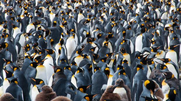 South Georgia Island is home to roughly five million penguins.