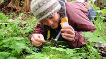 Biologist Heather Bryan collects grizzly hair to study the health effects of long-term salmon declines. (Howard Humchitt)
