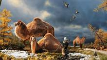 An artist's reconstruction camels living in the Canadian Arctic during the mid-Pliocene perio