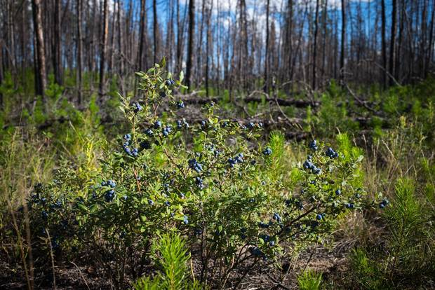 Blueberries grow wild at the Poplar Point reserve near Fort Chipewyan, Alta., the first community downriver from oil sands developments.
