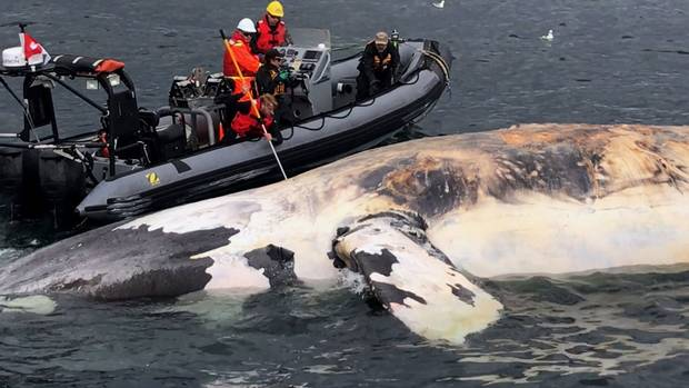 Researchers examine one of the North Atlantic right whales that have died recently in the Gulf of St. Lawrence.