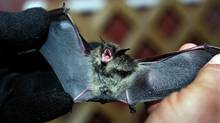 A small brown bat is held by Mike Johnson Chief of Natural Resources Summit County Metro Parks, in Aurburn Township, Ohio, July 27, 2006. (The Plain Dealer, Roadell Hickman/AP Photo)