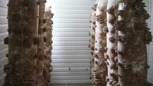 Champignons Advitam Inc.'s oyster mushrooms, which are growing on sacks of decomposing wood hanging in a converted horse stable in Saint-Ours, Que., on the outskirts of Montreal. (Thierry Lacasse)