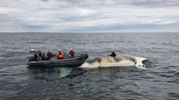 Dr. Pierre-Yves Dumont collects samples from one of the dead right whales.