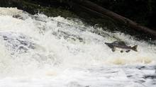 A salmon is seen trying to climb a small waterfall at Quigley Creek near Princess Royal Island, B.C., Sept, 20, 2013. The province's new approach to managing freshwater resources is under attack. (JONATHAN HAYWARD/THE CANADIAN PRESS)