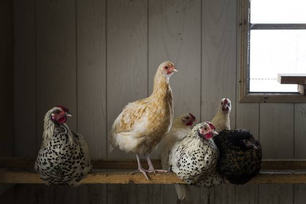 Murray Thunberg, owner of Murray's Farm in Cambridge, Ont., raises a variety of breeds of chickens as well as pigs.