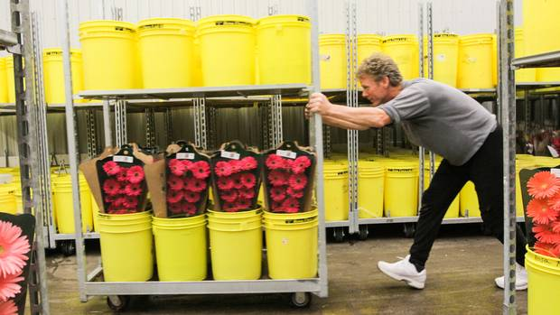 Gary Chappell moves a cart with packaged Gerbera in the busy sorting areas of Rosa Flora Limited in Dunnville where they grow 110 varietals of Gerbera (Glenn Lowson/The Globe and Mail)