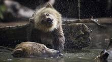 A female grizzly bear on the hunt for salmon in Glendale river while her spring cub shakes itself off in Knights Inlet, B.C. September 18, 2013. (John Lehmann/The Globe and Mail)
